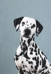 Waterproof panel for a  backpack - dalmatian